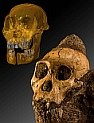 Australopithecus sediba: Originalschädel von MH1 und Schädelrekonstruktion